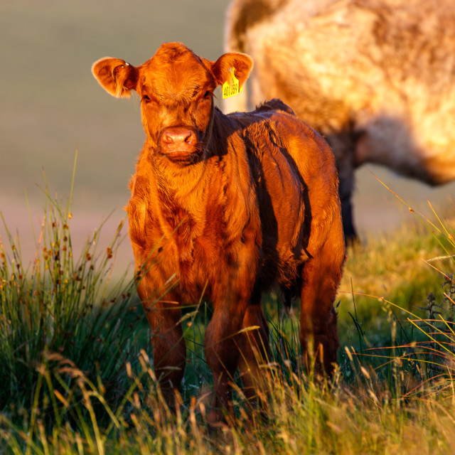 """Early morning Calf."" stock image"