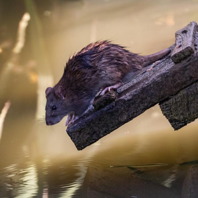 """Reflective rat"" stock image"