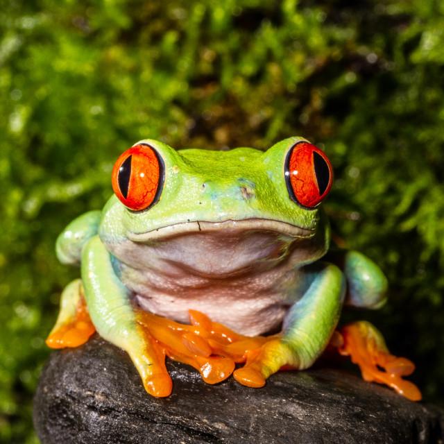 """""""Grumpy frog"""" stock image"""