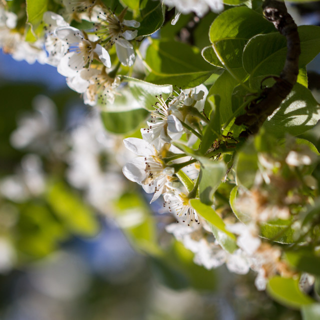 """Pear Blossom"" stock image"