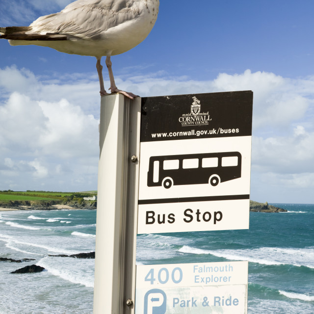"""""""Harlyn Bay Cornwall UK with a Herring gull on a bus stop sign."""" stock image"""