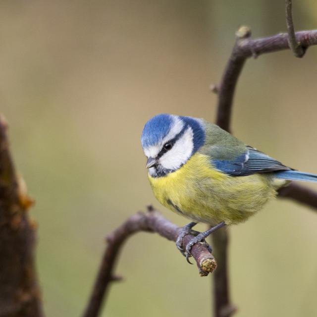 """Blue Tit at Stocks reservoir, Bowland, Lancashire, UK."" stock image"