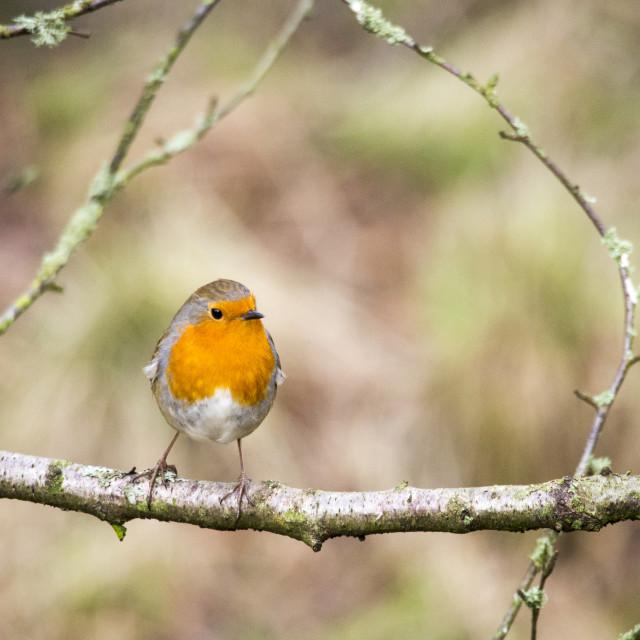 """European Robin at Stocks reservoir, Bowland, Lancashire, UK."" stock image"