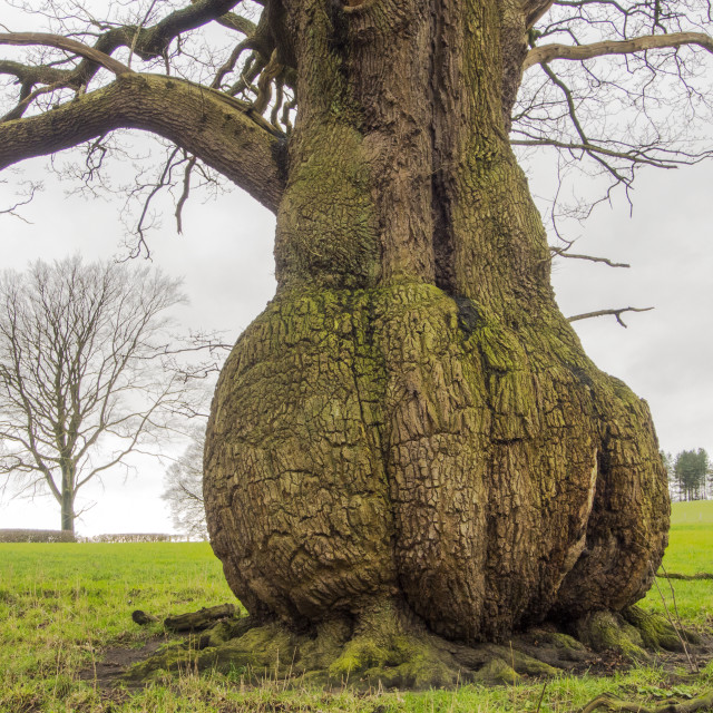 """A tree with a bulbous trunk near the River Ribble at Hurst Green, Lancashire,..."" stock image"