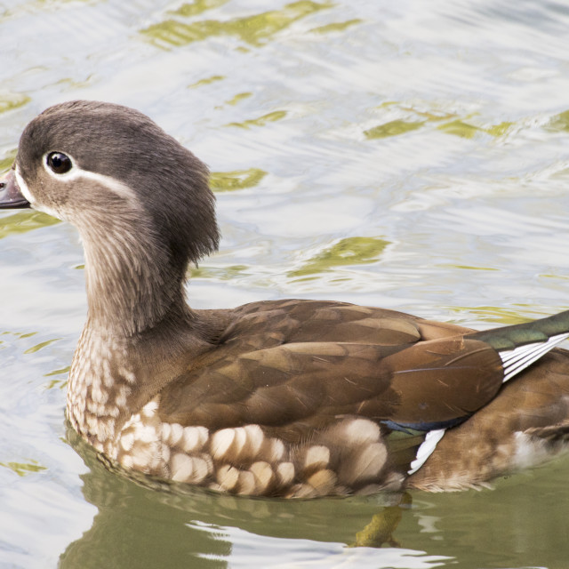 """A female Mandarin Duck on the widlfowl lake at Grange over Sands, Cumbria, UK."" stock image"