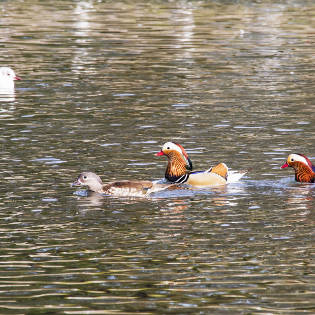 """Male Mandarin Ducks follow a female on the widlfowl lake at Grange over..."" stock image"