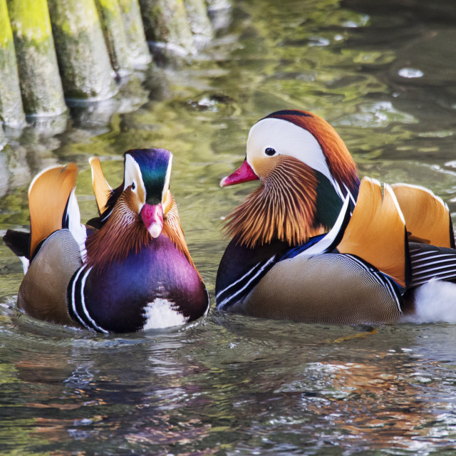 """Male Mandarin Ducks on the widlfowl lake at Grange over Sands, Cumbria, UK."" stock image"
