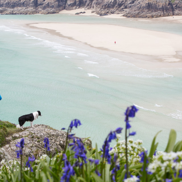 """A woman at Porthcurno in Cornwall in Spring with bluebells flowering."" stock image"
