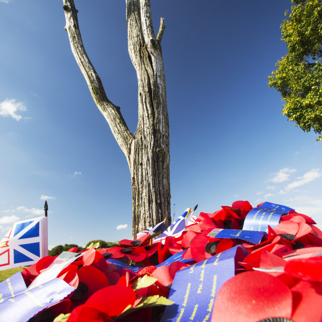 """The last surviving tree from the battle at Newfoundland Memorial Park,..."" stock image"