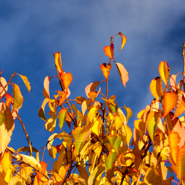 """Autumn leaves on an ornamental cheery tree."" stock image"