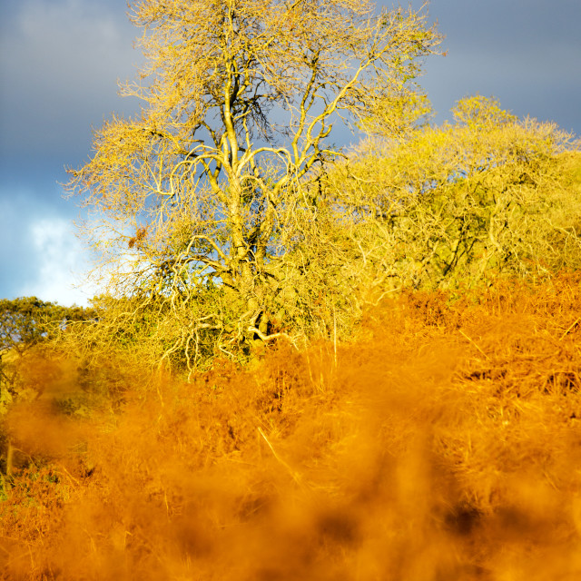 """Sunset glowing light on dead bracken and an Ash tree above Ambleside, UK."" stock image"