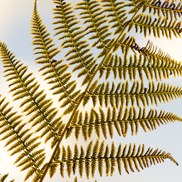"""Backlit fern fronds, Ambleside, UK."" stock image"