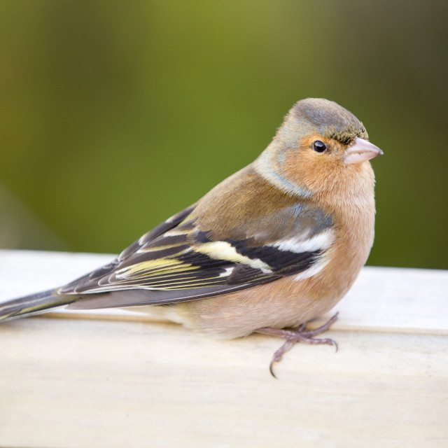 """A male Chaffinch (Fringilla coelebs) in winter plumage."" stock image"