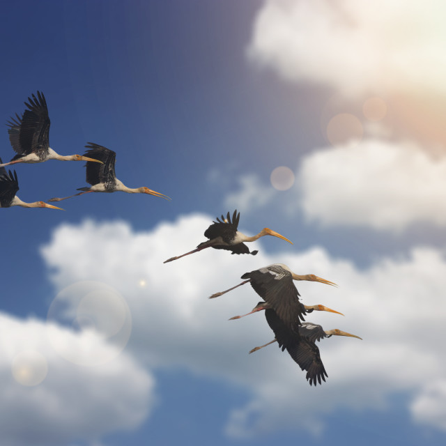 """Painted Storks flying"" stock image"