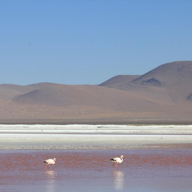 """Flamingos on the Red Lagoon"" stock image"