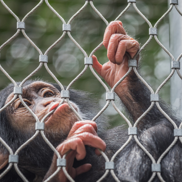 """Caged chimpanzee"" stock image"