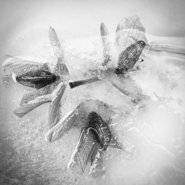 """Flowers in ice B/W"" stock image"