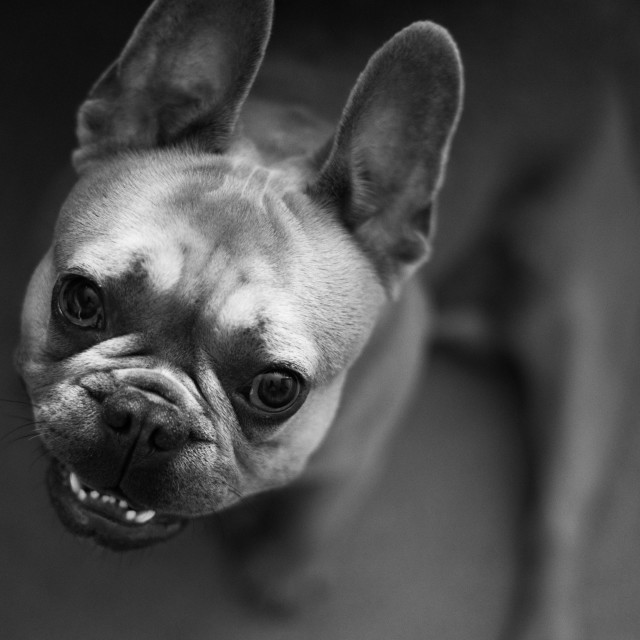 """French Bulldog"" stock image"