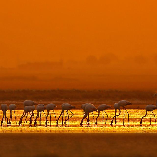 """""""The Flock of flamingo at Sunrise"""" stock image"""