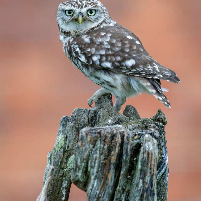 """Little Owl Perched on a Tree Stump"" stock image"
