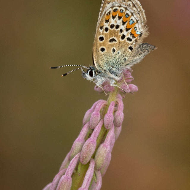 """Silver-studded Blue butterfly roosting on wild flower"" stock image"