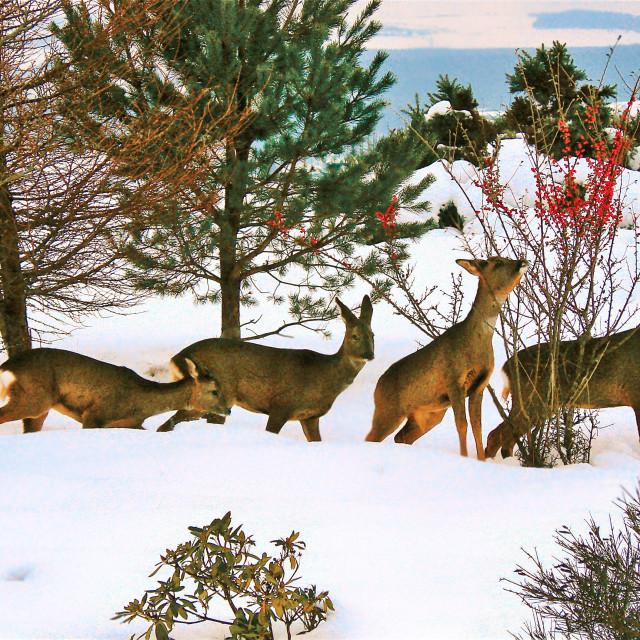 """Deer in Snow"" stock image"
