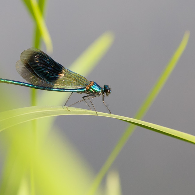 """""""The banded demoiselle (Calopteryx splendens) is a species of damselfly..."""" stock image"""