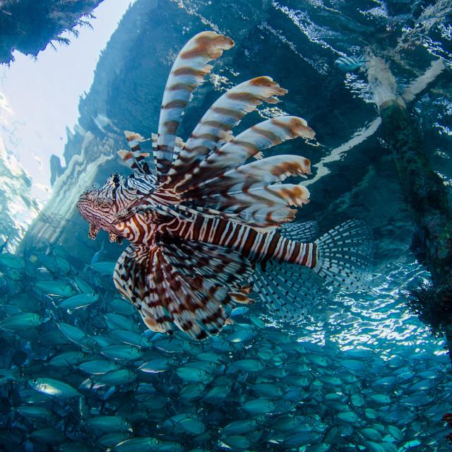 """Lion Fish"" stock image"