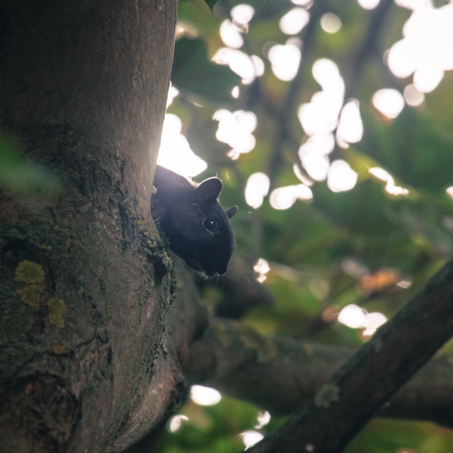 """Black Squirrel"" stock image"