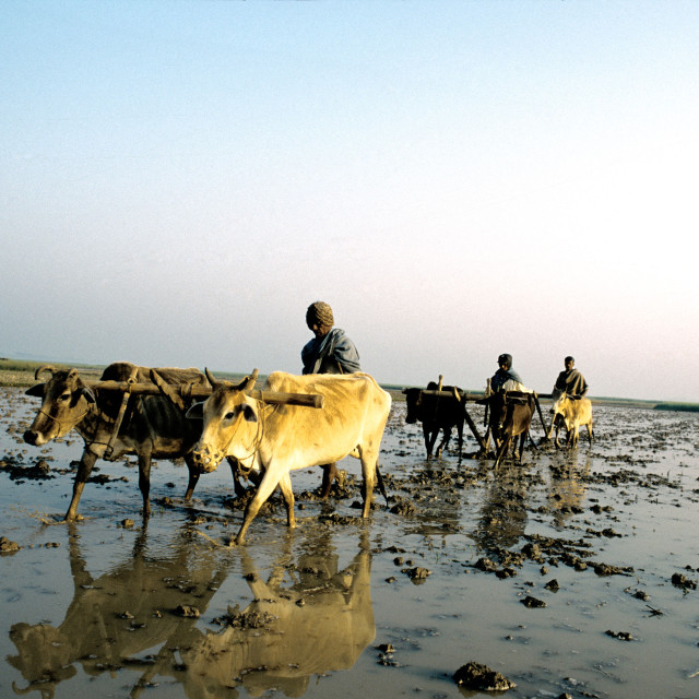 """Farmers are ploughing crop fields in agricultural Bangladesh."" stock image"