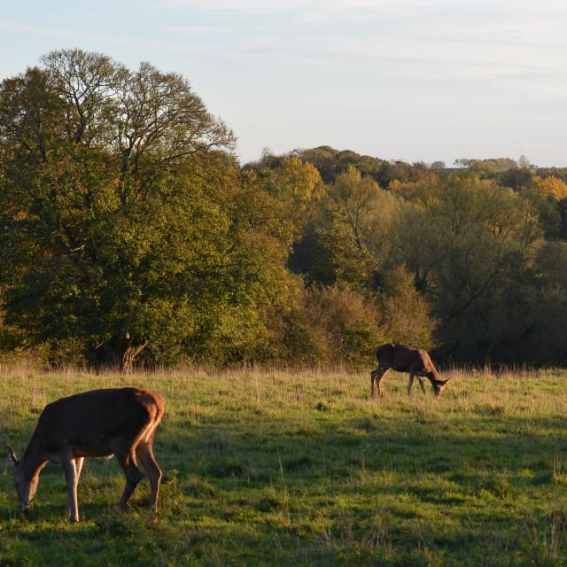 """""""Deer in Autumn"""" stock image"""