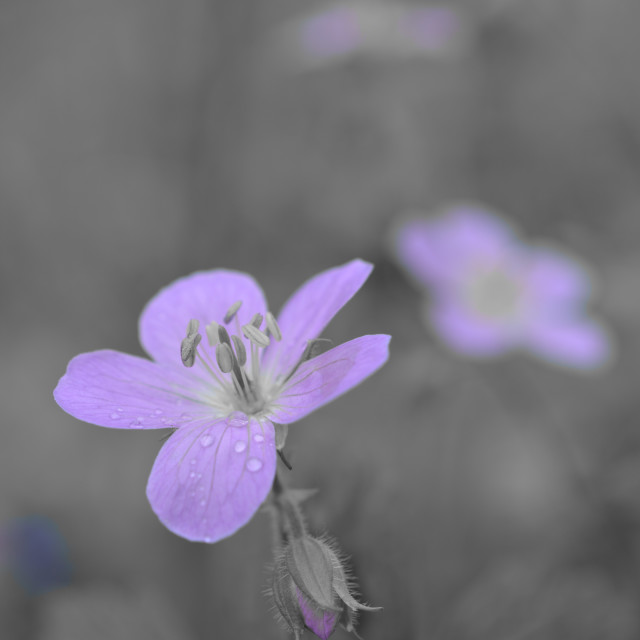 """violet"" stock image"