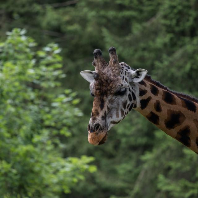 """""""Peek-a-boo Giraffe"""" stock image"""