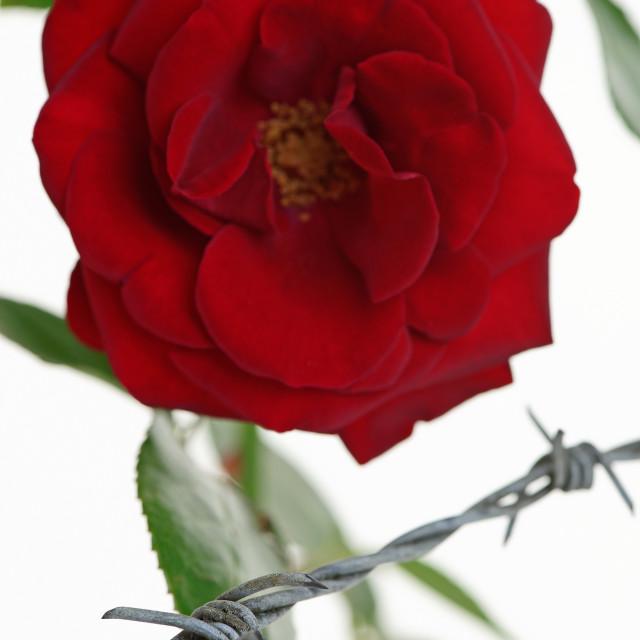 """Imprisoned Rose"" stock image"