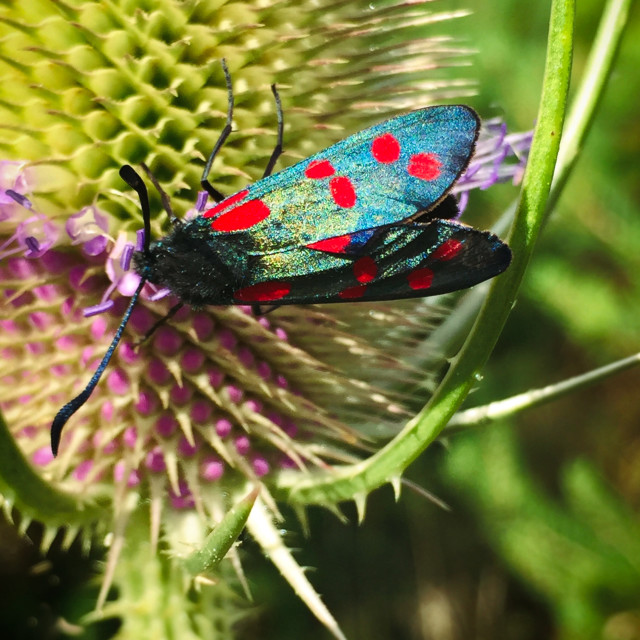"""Six-spot Burnet Moth"" stock image"