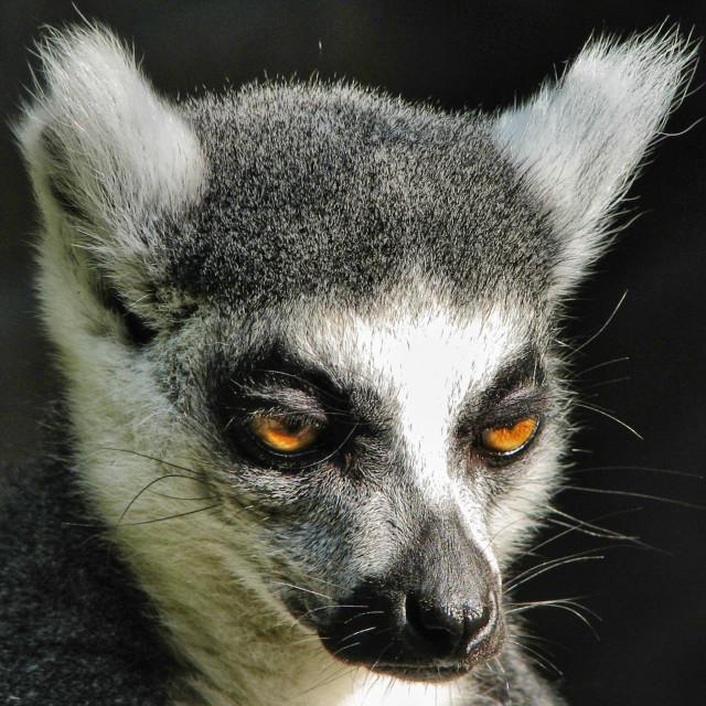 """""""Ring Tailed Lemur 03"""" stock image"""