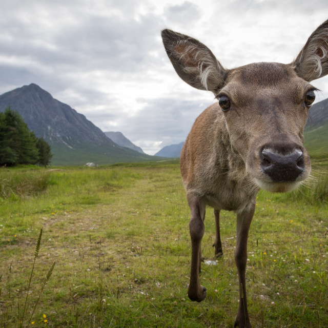 """Curious Doe"" stock image"