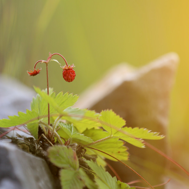 """Wild strawberry is very tasty fruit"" stock image"