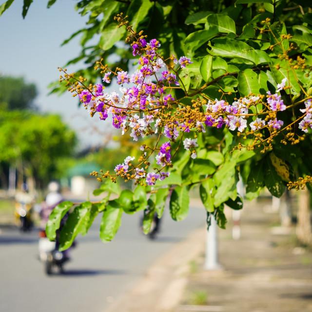 """Lagerstroemia floribunda flowers beside road with blurry bike"" stock image"