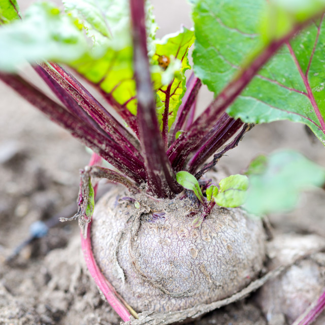 """Organic homegrown beetroots."" stock image"