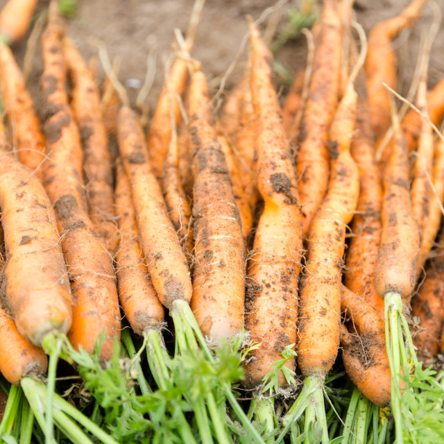 """""""Hand picked bunch of fresh dirt orange carrots backgrounds"""" stock image"""