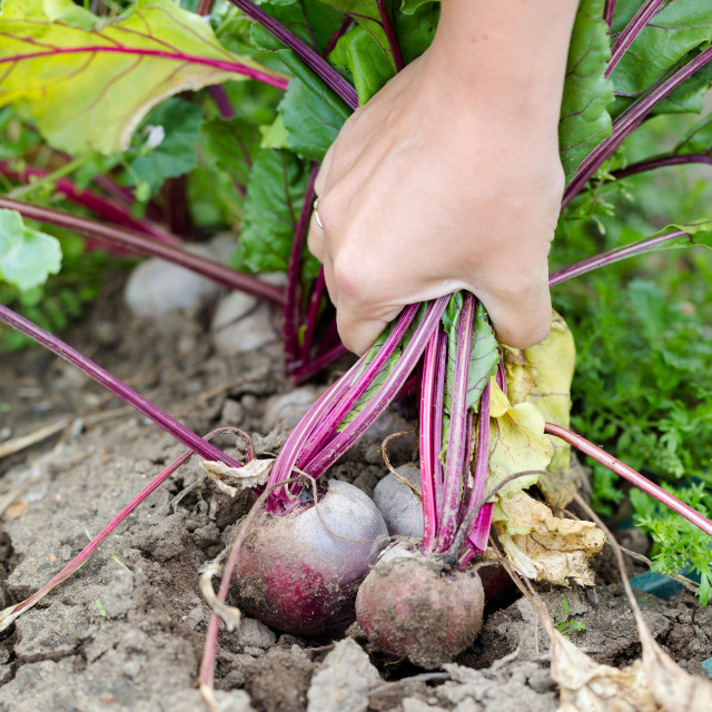 """Young woman hand picking bunch of fresh beetroots"" stock image"