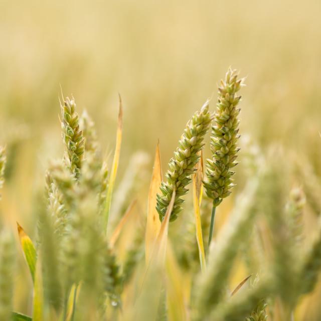 """Wheat in warm daylight"" stock image"