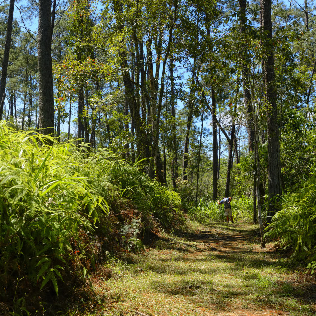 """""""Pine forest in Belize"""" stock image"""