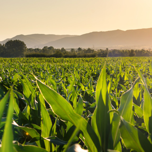 """Young corn plantation landscape"" stock image"
