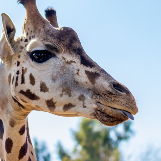 """Giraffe slightly sticking tongue out"" stock image"