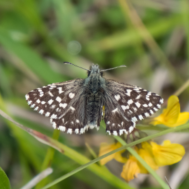 """""""Grizzled Skipper butterfly (Pyrgus malvae) basking warming up on chalkland down"""" stock image"""