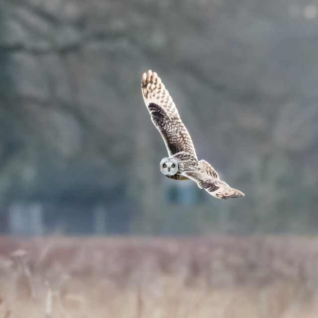 """Short-eared Owl (Asio flammeus) hunting banking flying, in flight over meadow"" stock image"
