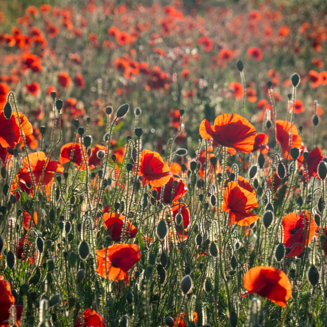 """""""Field of rich Red Poppies , backlit by low evening sunset"""" stock image"""