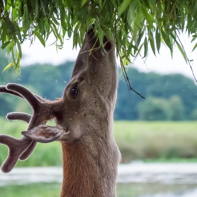 """Young Red Deer stag (Cervus elaphus) in velvet antlers, browsing on Willow..."" stock image"